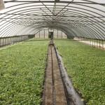 Pilito Cubano in the greenhouse