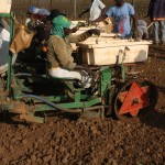 Transplanting the tobacco plants to the field