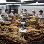 Workers prepare to sort the Tobacco