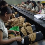 Tobacco Sorting